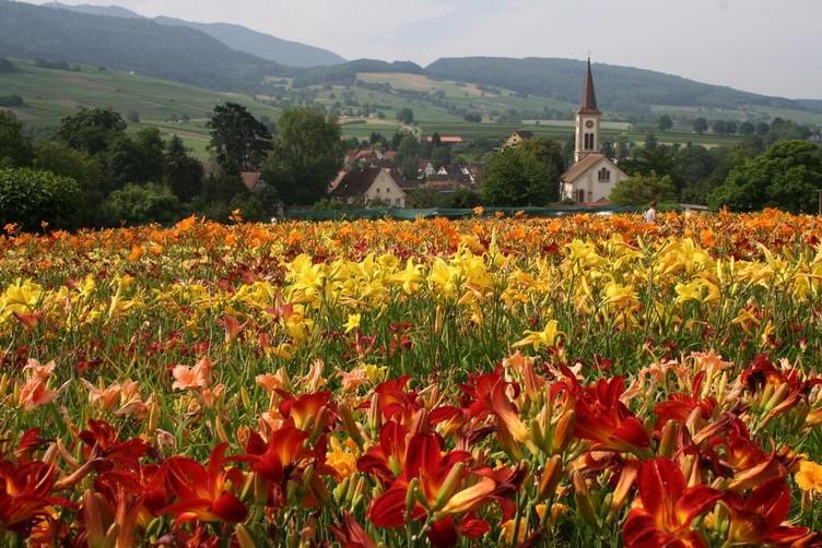 Blumenfeld vor Sulzburg-Laufen