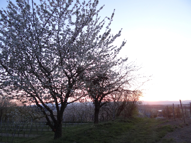 Kirschbäume im Abendrot